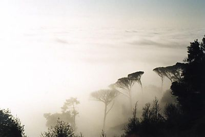 trees rising out of mist