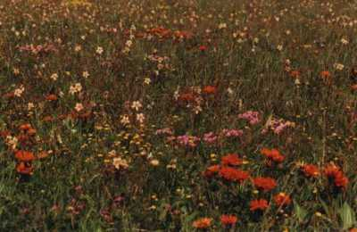 mixed wildflowers in field